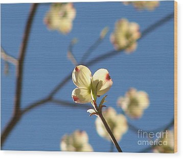 One Dogwood Blooms Wood Print by Laura Brightwood