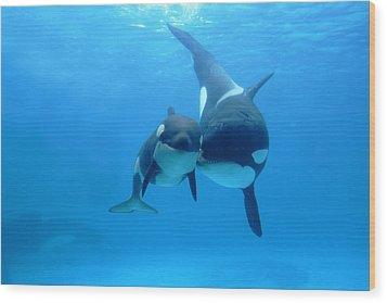 Orca Orcinus Orca Mother And Newborn Wood Print by Hiroya Minakuchi