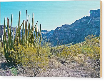 Organ Pipe Cactus In Arch Canyon In Organ Pipe Cactus National Monument-arizona  Wood Print by Ruth Hager