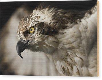Osprey Wood Print by Adam Romanowicz