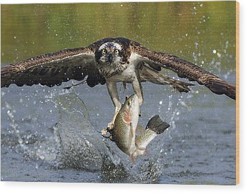 Osprey Catching Trout Wood Print by Scott  Linstead