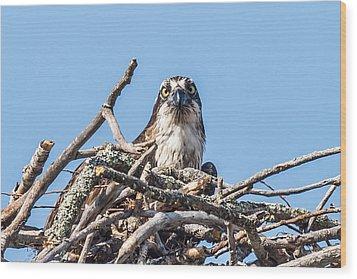 Osprey Eyes Wood Print by Paul Freidlund