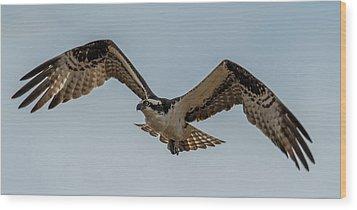 Osprey Flying Wood Print by Paul Freidlund