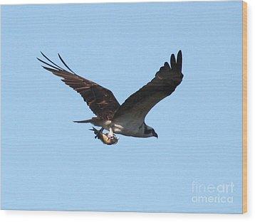 Osprey With Fish Wood Print by Carol Groenen