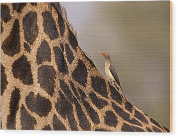 Oxpecker On Giraffe Back Wood Print by Johan Elzenga