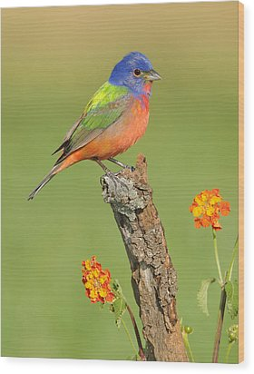 Painted Bunting Wood Print by Scott  Linstead