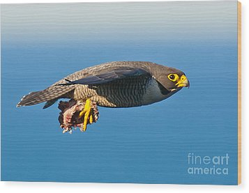 Peregrine Falcon 2 Wood Print by Michael  Nau