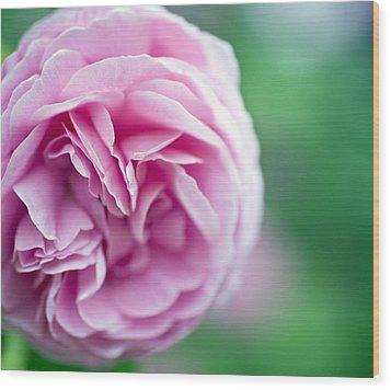 Pink Bourbon Rose Louise Odier Wood Print by Frank Tschakert