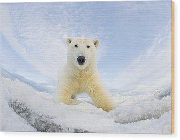 Polar Bear  Ursus Maritimus , Curious Wood Print by Steven Kazlowski