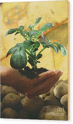Potato Plant Wood Print by Science Source