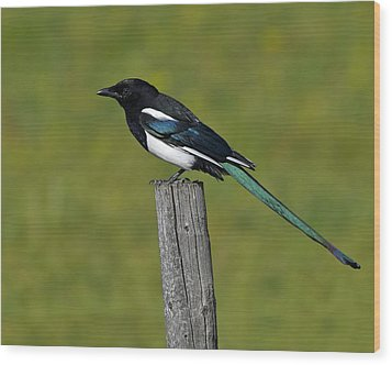 Prairie Perch Wood Print by Tony Beck