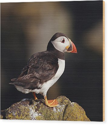 Puffin On Rock Wood Print by Grant Glendinning