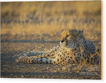 Reclining Cheetah Wood Print by Inge Johnsson