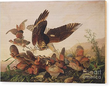 Red Shouldered Hawk Attacking Bobwhite Partridge Wood Print by John James Audubon