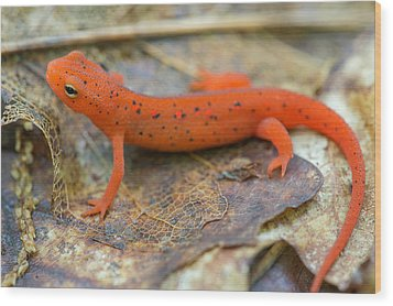Red Spotted Newt  Wood Print by Derek Thornton