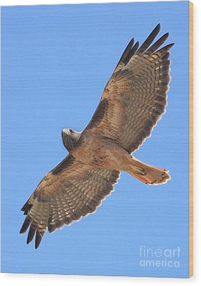 Red Tailed Hawk In Flight Wood Print by Wingsdomain Art and Photography