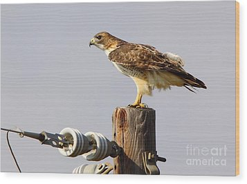 Red Tailed Hawk Perched Wood Print by Robert Frederick