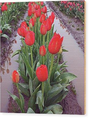 Red Tulip Row Wood Print by Kami McKeon