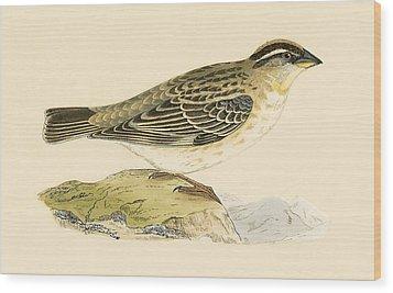 Rock Sparrow Wood Print by English School