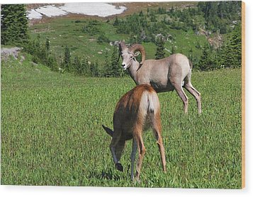 Rocky Mountain Bighorn Sheep Ram And Mule Deer Doe Glacier National Park Mt Wood Print by Christine Till