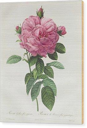 Rosa Gallica Flore Giganteo Wood Print by Pierre Joseph Redoute