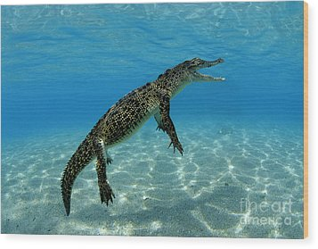 Saltwater Crocodile Wood Print by Franco Banfi and Photo Researchers