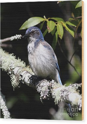 Scrub Jay . 7d6663 Wood Print by Wingsdomain Art and Photography
