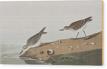 Semipalmated Sandpiper Wood Print by John James Audubon