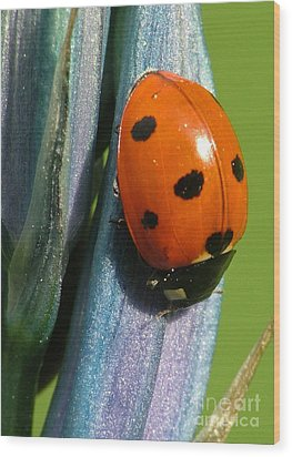 Seven Spotted Lady Beetle Wood Print by Katie LaSalle-Lowery