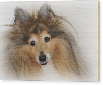 Sheltie Dog - A Sweet-natured Smart Pet Wood Print by Christine Till