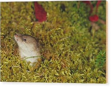 Shrew Pokes Head Out Of Tundra Wood Print by Michael S. Quinton