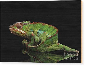Sneaking Panther Chameleon, Reptile With Colorful Body On Black Mirror, Isolated Background Wood Print by Sergey Taran