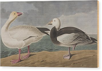Snow Goose Wood Print by John James Audubon