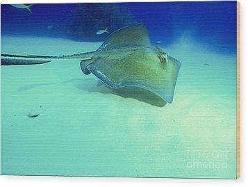 Southern Sting Ray Wood Print by Gregory Ochocki and Photo Researchers