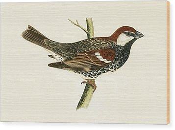 Spanish Sparrow Wood Print by English School