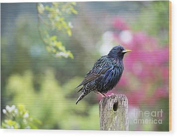 Starling  Wood Print by Tim Gainey