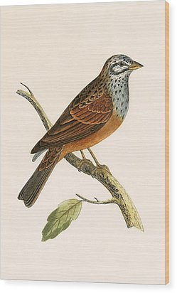 Striolated Bunting Wood Print by English School