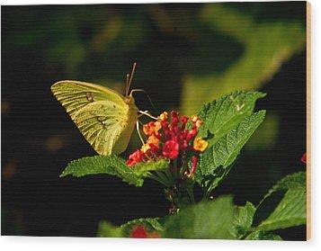 Sulpher Butterfly On Lantana Wood Print by Douglas Barnett