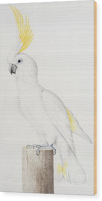 Sulphur Crested Cockatoo Wood Print by Nicolas Robert