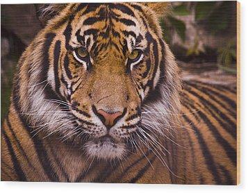 Sumatran Tiger Wood Print by Chad Davis