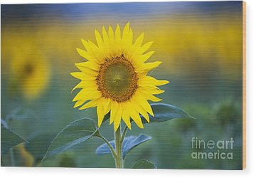 Sunflower Wood Print by Tim Gainey