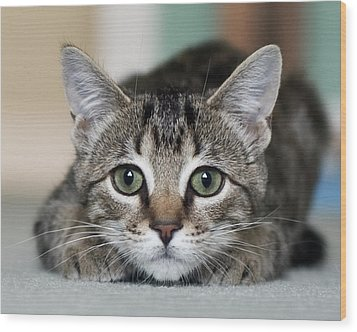Tabby Kitten Wood Print by Jody Trappe Photography