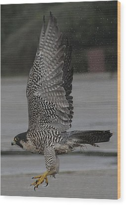 The Peregrine Falcon Wood Print by Christopher Kirby