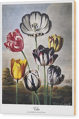 Thornton: Tulips Wood Print by Granger