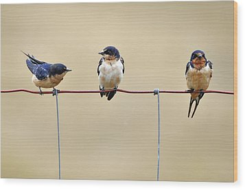 Three Young Swallows Wood Print by Laura Mountainspring