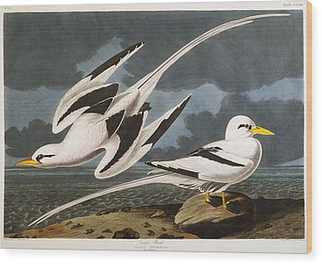 Tropic Bird Wood Print by John James Audubon