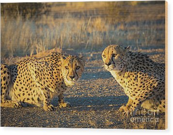 Two Cheetahs Wood Print by Inge Johnsson