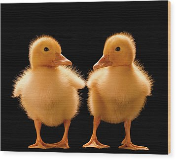 Two Ducklings Looking At One Another Wood Print by Don Farrall