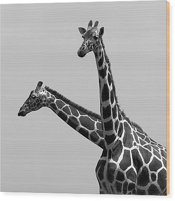 Two Reticulated Giraffes Wood Print by Achim Mittler, Frankfurt am Main