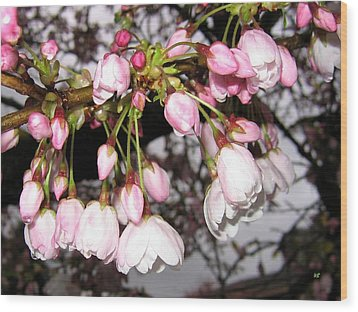 Vancouver Cherry Blossoms Wood Print by Will Borden